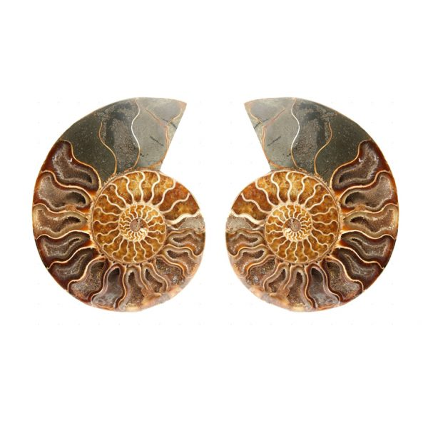 large_display_sectioned_ammonite_pair