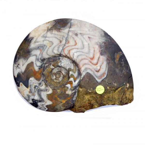 GoniatiteGonioclymenia large_ammonite_gonioclymenia_goniatite_half_210mmx140mm