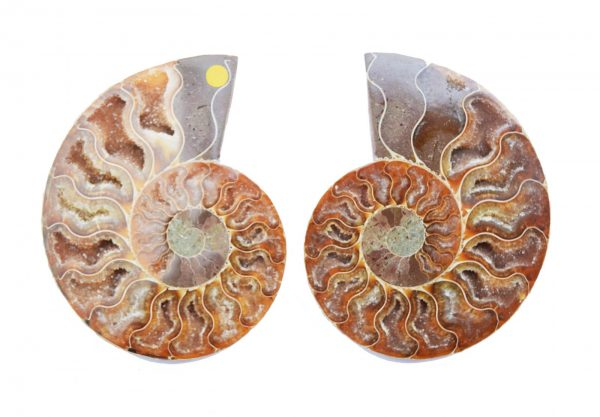 Cleoniceras Ammonite Pair large_quartz_ammonite_pair