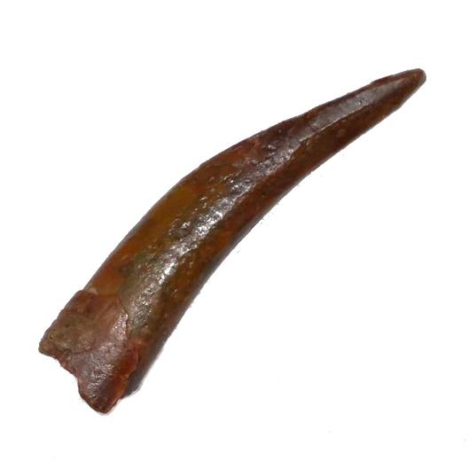 pterosaur_tooth_jurassic_jacks