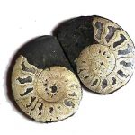 pyrite_ammonites_jurassic_jacks