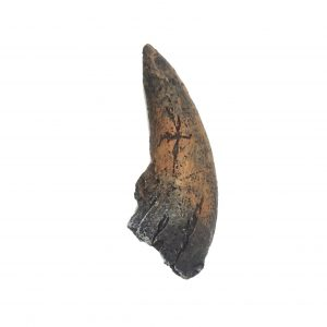 Albertosaurus Claw Replica