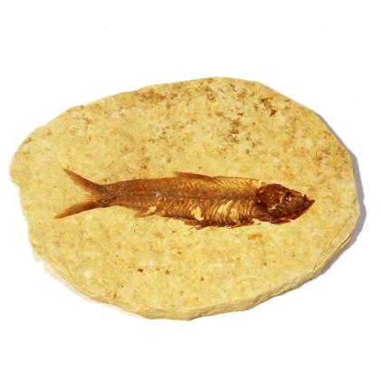 Fish Fossil Knightia