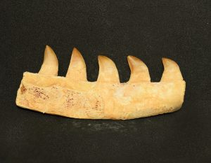mosasaur_jaw_bone_peice_4_teeth_jurassic_jacks_blog