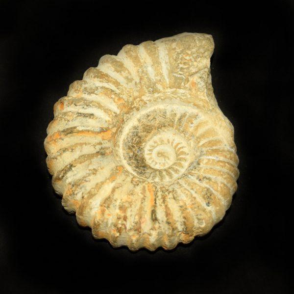 agadir_ammonite_jurassic_jacks