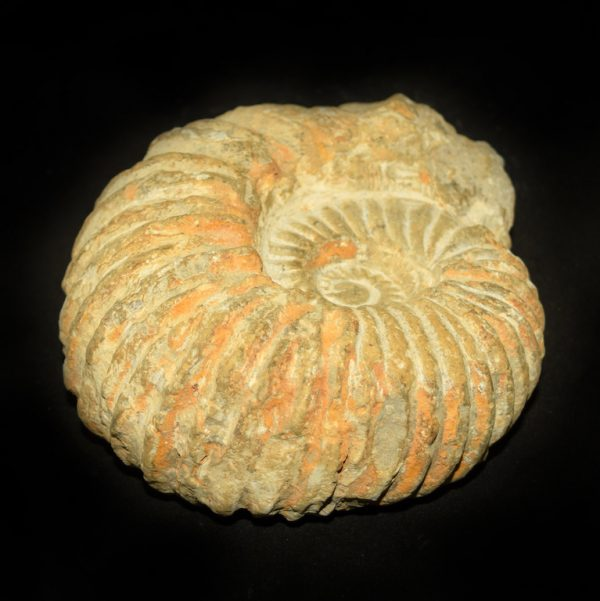 agadir_ammonite_close_up