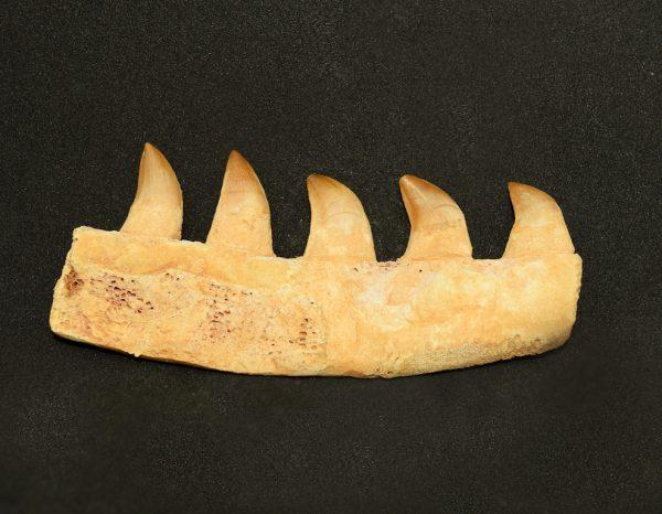 mosasaur_jaw_bone_piece_4_teeth