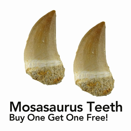 mosasaurus-tooth deal