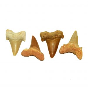 otodus_sharks_teeth