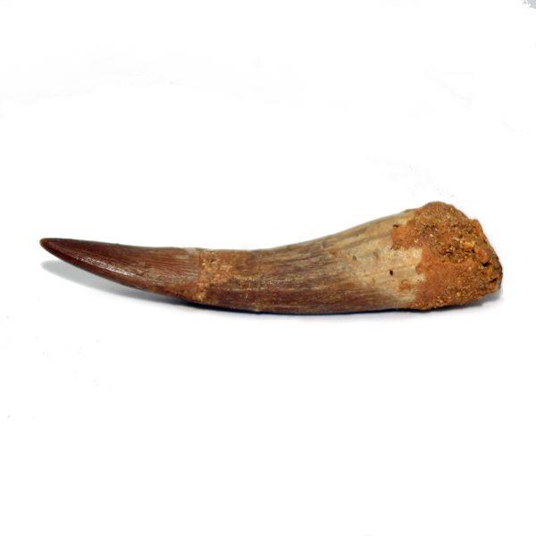 plesiosaur_tooth_jurassic jacks