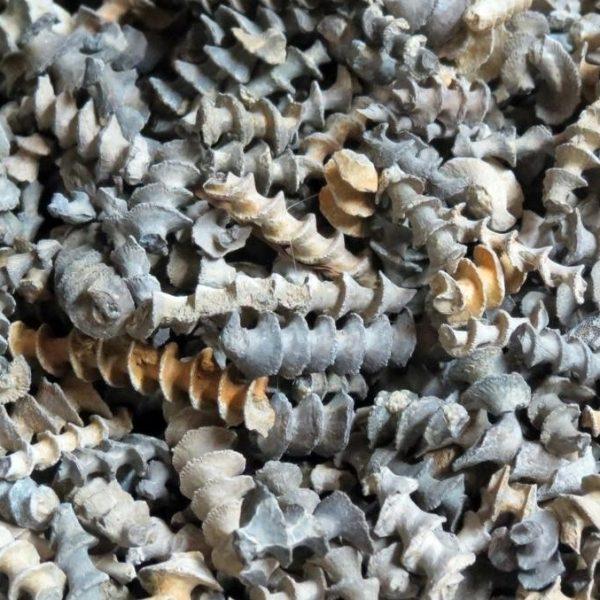 Archimedes Bryozoan