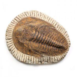 Cambropallas Trilobite