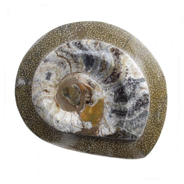 Polished Ammonite in Frame