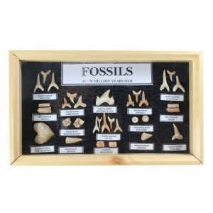 fossil_shark_tooth_collection_in_display_case